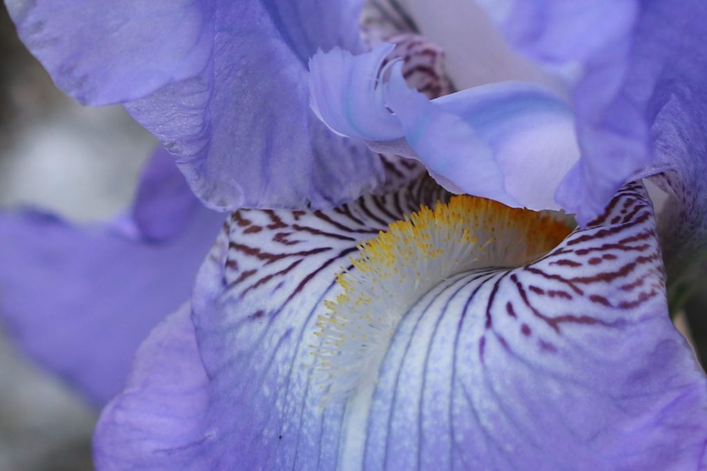 Upclose look at an iris